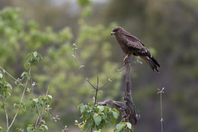 A Black Kite, Milvus Migrans, Perched on a Dead Tree Branch