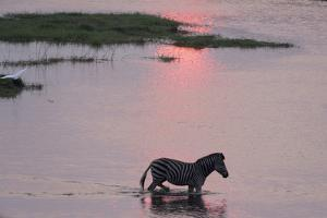 A Burchell's Zebra, Equus Burchelli, Wading in the Chobe River at Sunset by Sergio Pitamitz