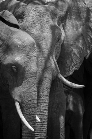 A Close Up Portrait of Two African Elephants, Loxodonta Africana, and a Calf by Sergio Pitamitz