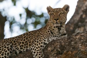 A Female Leopard, Panthera Pardus, Resting on a Large Tree Limb by Sergio Pitamitz
