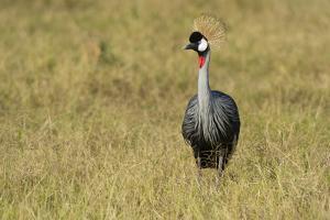 A Grey Crowned Crane, Balearica Regulorum Gibbericeps, in Grass by Sergio Pitamitz