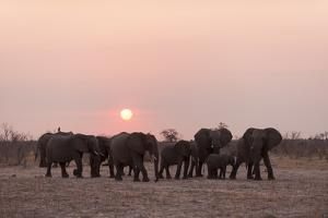 A Herd of African Elephants, Loxodonta Africana, at Sunset by Sergio Pitamitz