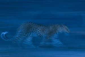 A Leopard, Panthera Pardus, Running in the Darkness of Night by Sergio Pitamitz