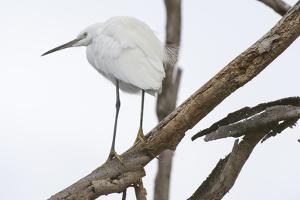 A Little Egret, Garzetta Garzetta, on a Dead Tree Branch by Sergio Pitamitz