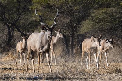 A male greater kudu (Tragelaphus strepsiceros) with its harem of females, Botswana, Africa by Sergio Pitamitz