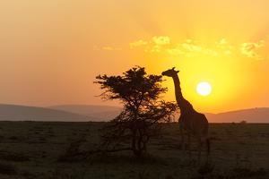 A Masai Giraffe, Giraffa Camelopardalis Tippelskirchi, Browsing at Sunset by Sergio Pitamitz