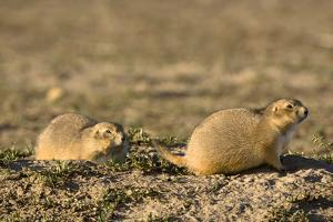A Pair of Prairie Dogs, Cynomys Species, Sitting at the Entrance to their Burrow by Sergio Pitamitz