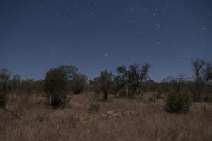 A Pride of Lions, Panthera Leo, Resting under a Star-Filled Sky by Sergio Pitamitz