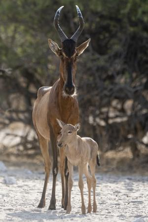 A red hartebeest, Alcelaphus buselaphus,  at waterhole with its calf. by Sergio Pitamitz
