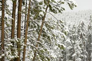 A Snow-Covered Forest of Evergreen Trees by Sergio Pitamitz
