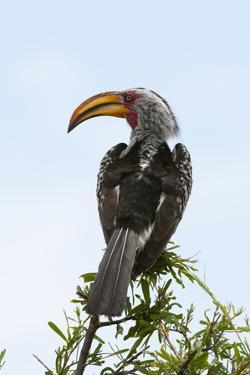 A Southern Yellow-Billed Hornbill, Tockus Leucomelas, Perching on a Branch by Sergio Pitamitz