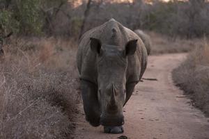 A White Rhinoceros, Ceratotherium Simum, Walking Down a Dirt Road at Dusk by Sergio Pitamitz