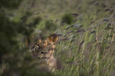 A Young Lion, Panthera Leo, Hiding in a Field of Purple Grass by Sergio Pitamitz