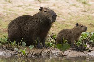 Adult and young capybara (Hydrochaeris hydrochaeris) on Cuiaba River bank, Pantanal, Mato Grosso, B by Sergio Pitamitz