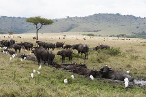 African Buffalo, Masai Mara, Kenya by Sergio Pitamitz