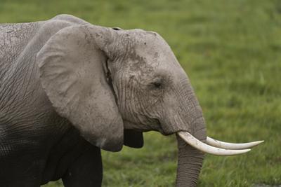 African elephant, Amboseli National Park, Kenya. by Sergio Pitamitz