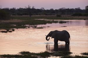 African Elephant (Loxodonta Africana), Khwai Concession, Okavango Delta, Botswana, Africa by Sergio Pitamitz