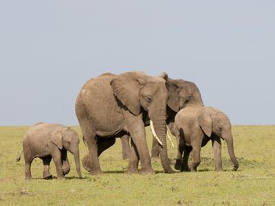 African Elephant (Loxodonta Africana), Masai Mara, Kenya, East Africa, Africa by Sergio Pitamitz