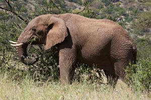 African Elephant (Loxodonta Africana), Samburu National Reserve, Kenya, East Africa, Africa by Sergio Pitamitz