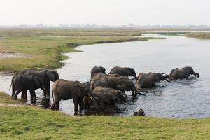 African Elephants (Loxodonta Africana), Chobe National Park, Botswana, Africa by Sergio Pitamitz