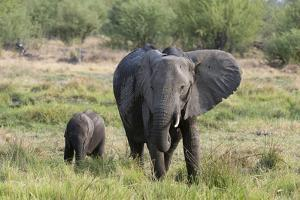 An African elephant (Loxodonta africana) with its calf, Khwai Concession, Okavango Delta, Botswana, by Sergio Pitamitz