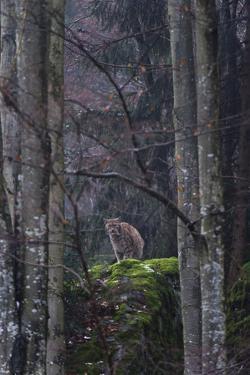 An Alert European Lynx, Lynx Lynx, on a Mossy Boulder in a Foggy Forest by Sergio Pitamitz
