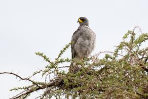 An Eastern Chanting Goshawk, Melierax Poliopterus, Perching in a Tree by Sergio Pitamitz