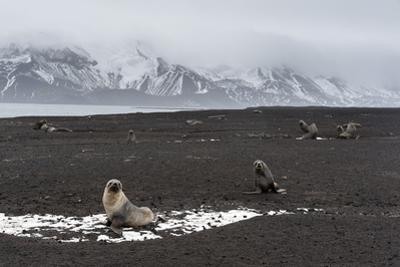 Antarctic fur seals (Arctocephalus gazella) on the beach, Deception Island, Antarctica, Polar Regio by Sergio Pitamitz