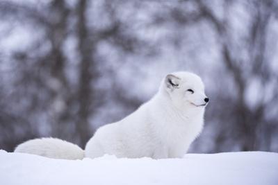 Arctic Fox (Vulpes Lagopus), Polar Park, Norway, Troms, Norway, Scandinavia by Sergio Pitamitz