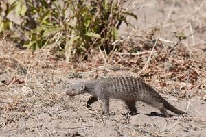 Banded Mongoose (Mungos Mungo) by Sergio Pitamitz