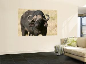 Cape Buffalo, Masai Mara National Reserve, Kenya by Sergio Pitamitz