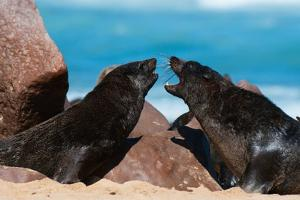 Cape Fur Seal (Arctocephalus Pusilus), Skeleton Coast National Park by Sergio Pitamitz