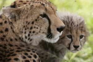 Cheetah (Acynonix Jubatus) and Cub, Masai Mara National Reserve, Kenya, East Africa, Africa by Sergio Pitamitz