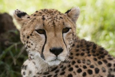 Cheetah (Acynonix Jubatus), Masai Mara, Kenya by Sergio Pitamitz