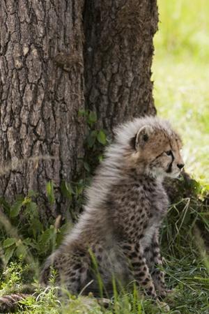 Cheetah Cub (Acinonyx Jubatus), Masai Mara, Kenya by Sergio Pitamitz
