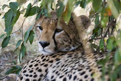 Cheetah, Masai Mara, Kenya. by Sergio Pitamitz