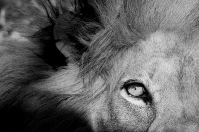 Close Up of the Eye of a Male Lion, Panthera Leo by Sergio Pitamitz