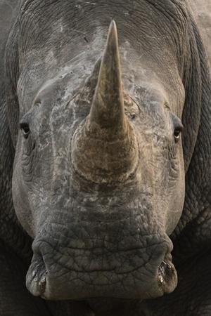 Close Up Portrait of a White Rhinoceros, Ceratotherium Simum, Looking at the Camera by Sergio Pitamitz