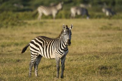 Common zebra, Amboseli National Park, Kenya. by Sergio Pitamitz