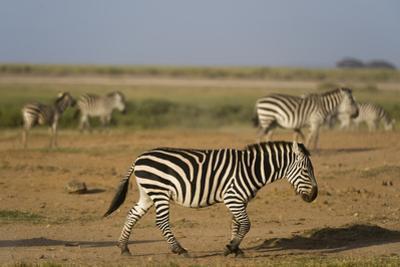 Common zebras, Amboseli National Park, Kenya. by Sergio Pitamitz