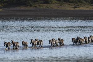 Common zebras (Equus quagga) crossing Lake Ndutu, Serengeti, Tanzania, East Africa by Sergio Pitamitz