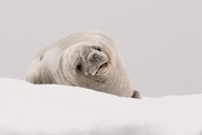 Crabeater seal (Lobodon carcinophaga), Portal Point, Antarctica, Polar Regions by Sergio Pitamitz