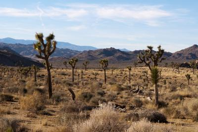 Desert Landscape and Vegetation in Hidden Valley in Joshua Tree National Park by Sergio Pitamitz