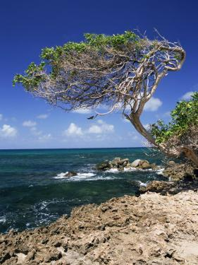 Divi Divi Tree, Cudarebe Point, Aruba, West Indies, Dutch Caribbean, Central America by Sergio Pitamitz