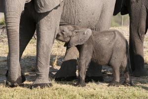 Elephant (Loxodonta Africana) Calf, Chobe National Park, Botswana, Africa by Sergio Pitamitz