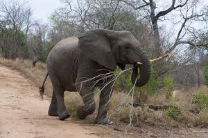 Elephant (Loxodonta Africana), Kapama Game Reserve, South Africa. by Sergio Pitamitz