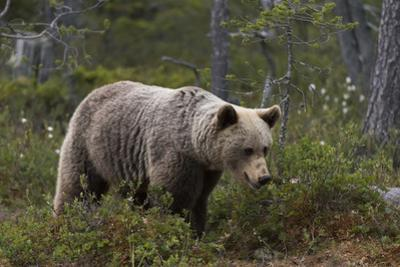 European brown bear, Ursus Arctos, Kuhmo, Finland. by Sergio Pitamitz