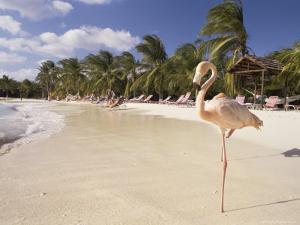 Flamingo, Sonesta Island, Aruba, West Indies, Dutch Caribbean, Central America by Sergio Pitamitz