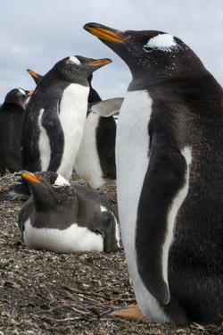 Gentoo penguin colony, Pygoscelis papua. by Sergio Pitamitz