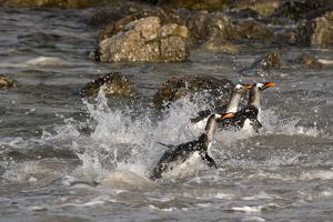 Gentoo penguins, Pygoscelis papua, coming ashore. by Sergio Pitamitz